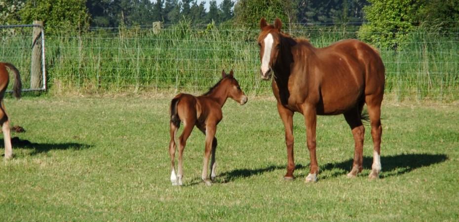 Hrothgar as a young foal
