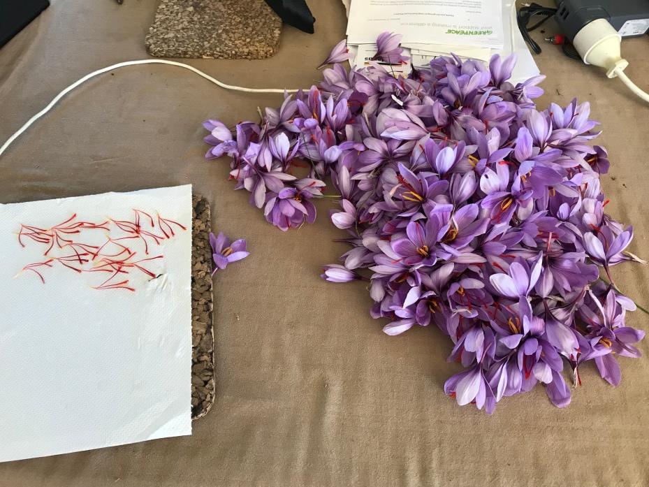 Pile of saffron crocus flowers